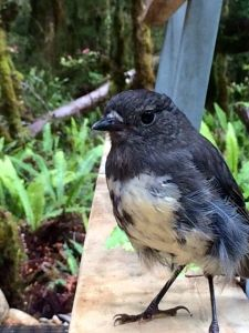 The curious and cute South Island bush robin - my fave little guy.